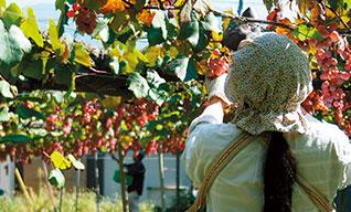 1.甲州ぶどうの収穫は、早朝から始まります。